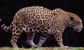 Jaguar on Jaguar   Zool  Gico De Barranquilla