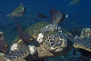 Tortuga marina con fibropapilomatosis. Se pueden observar nódulos incluso cerca del ojo.
