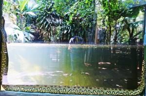 Hembra de anaconda en el Zoo (3, 71 mts.).