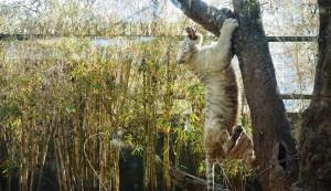 Tigre durante actividad de enriquecimiento ambiental.
